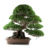 Juniperus chinensis - Ginepro - 74 cm
