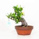 Gardenia Jasminoides - 21 cm