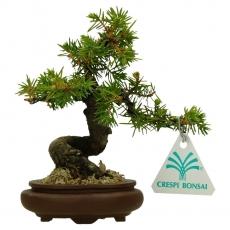 Juniperus rigida - Ginepro ad aghi - 15 cm