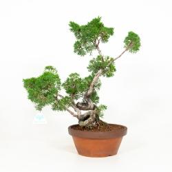 Juniperus chinensis - Genévrier de Chine - 50 cm
