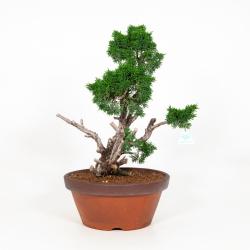 Juniperus chinensis - Genévrier de Chine - 58 cm