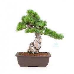 Pinus Pentaphylla - Pino - 36 cm