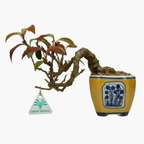 Kadsura japonica - 20 cm