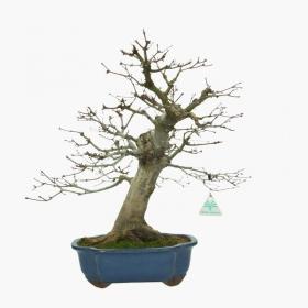 Acer palmatum Deshojo - 45 cm