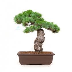 Pinus Pentaphylla - Pino - 43 cm