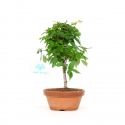 Zelkova serrata - Elm - 23 cm
