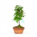 Zelkova serrata - Elm - 25 cm