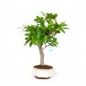 Ficus erecta - Fig - 45 cm
