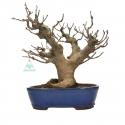 Ficus erecta - Fig - 41 cm
