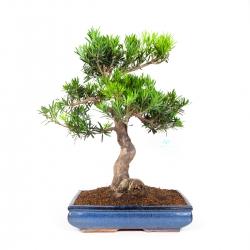 Podocarpus macrophylla - 61 cm