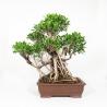 Ficus retusa - 67 cm