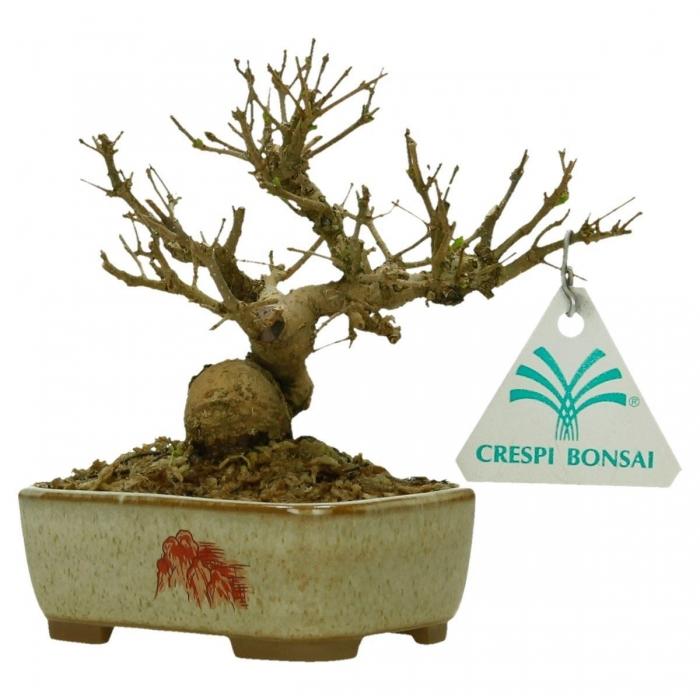 Ligustrum obtusifolium - Ligustro - 13 cm