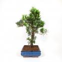 Podocarpus macrophylla - 65 cm