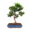 Podocarpus macrophylla - 64 cm