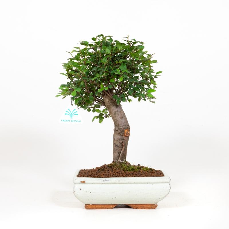 Zelkova nire - Elm -  33 cm