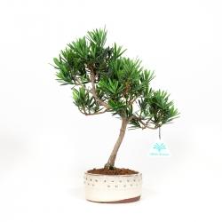 Podocarpus macrophylla - 32 cm