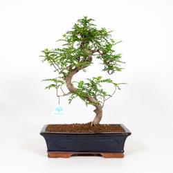 Zanthoxylum - Pepper tree - 45 cm