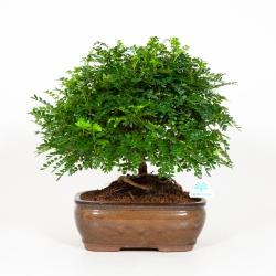 Zanthoxylum - Albero del pepe - 38 cm