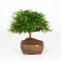 Zanthoxylum - Albero del pepe - 37 cm