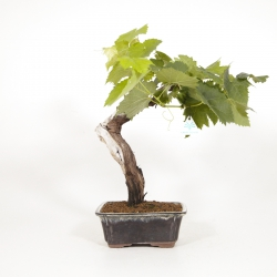 Vitis vinifera - Vite - 40 cm