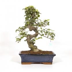 Ligustrum - Ligustro - 47 cm
