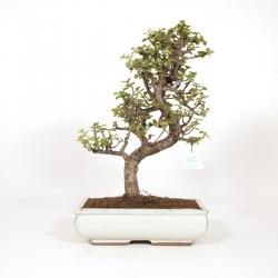 Crassula portulacaria - 48 cm
