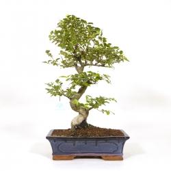 Ligustrum - Ligustro - 51 cm