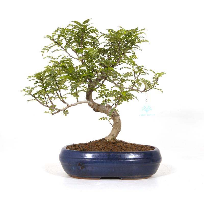 Zanthoxylum - Pepper tree - 37 cm