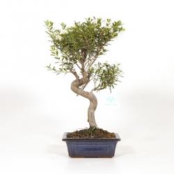 Syzygium - 36 cm