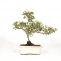 Serissa foetida variegata - Serissa - 33 cm