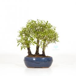 Serissa variegata - Serissa - 24 cm