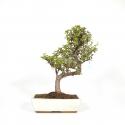 Crassula portulacaria - 50 cm