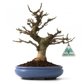 Magnolia - 25 cm