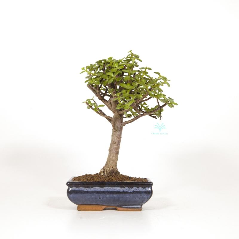 Crassula portulacaria - 34 cm