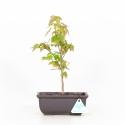 Acer buergerianum - Maple - 26 cm