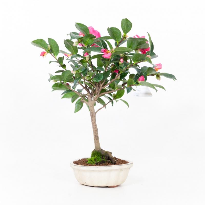 Camellia - 38 cm