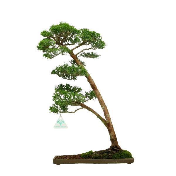 Juniperus chinensis - Juniper - 46 cm