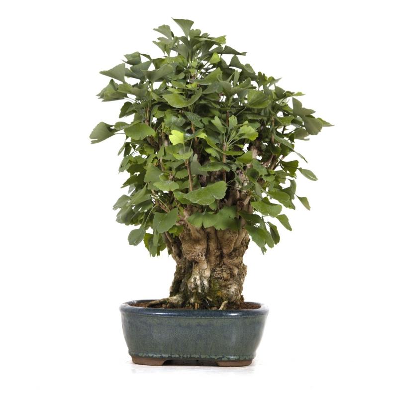 Ginkgo biloba - 54 cm