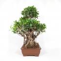 Ficus retusa - 74 cm