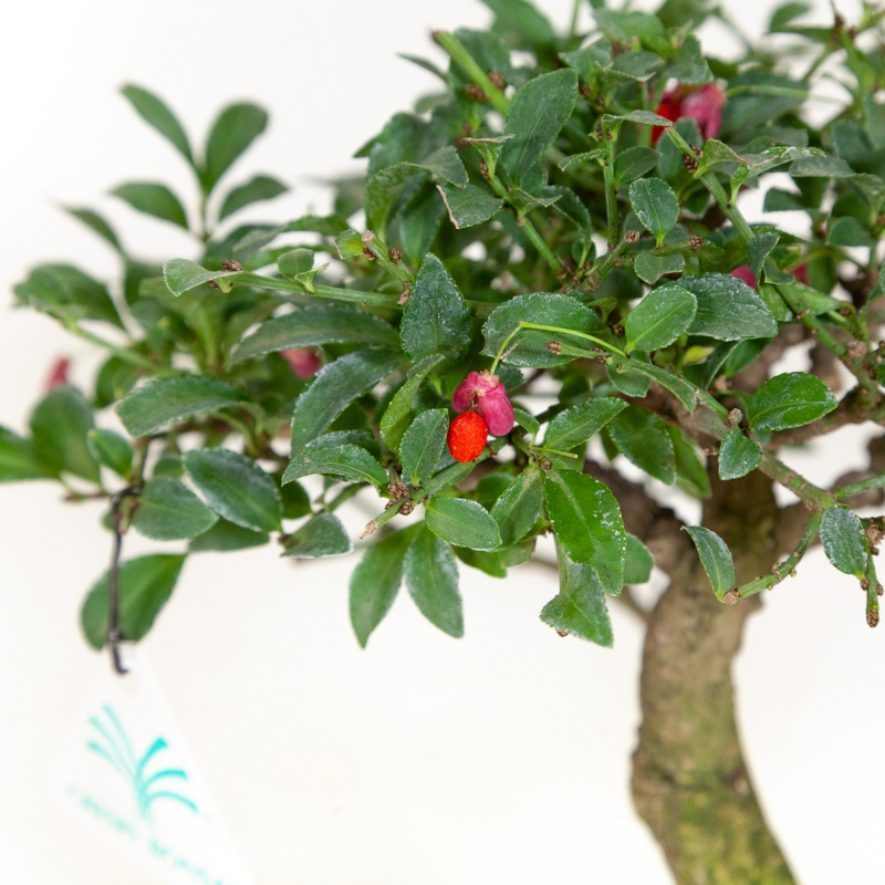 Euonymus - Spindle - 23 cm