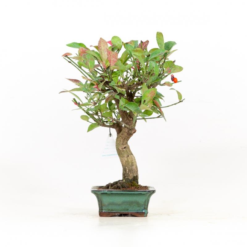 Euonymus sieboldianus - Evonimo - 26 cm