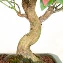 Euonymus sieboldianus - Spindle - 26 cm