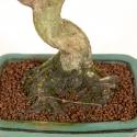 Euonymus sieboldianus - Fusain - 26 cm
