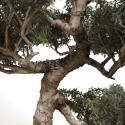 Tsuga diversifolia - Northern Japanese hemlock - 58 cm