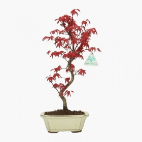 Acer palmatum Deshojo - acero - 34 cm