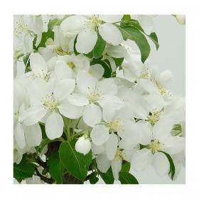 Malus prunifolia - Melo - 27 cm