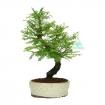 Metasequoia - 34 cm