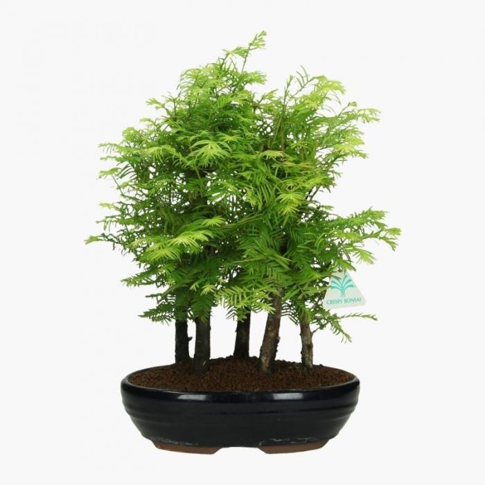 Metasequoia - 36 cm