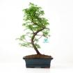 Metasequoia - 39 cm