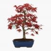 Acer palmatum Deshojo - acero - 41 cm